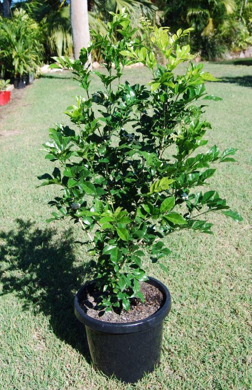 Murraya Paniculata Project Plants